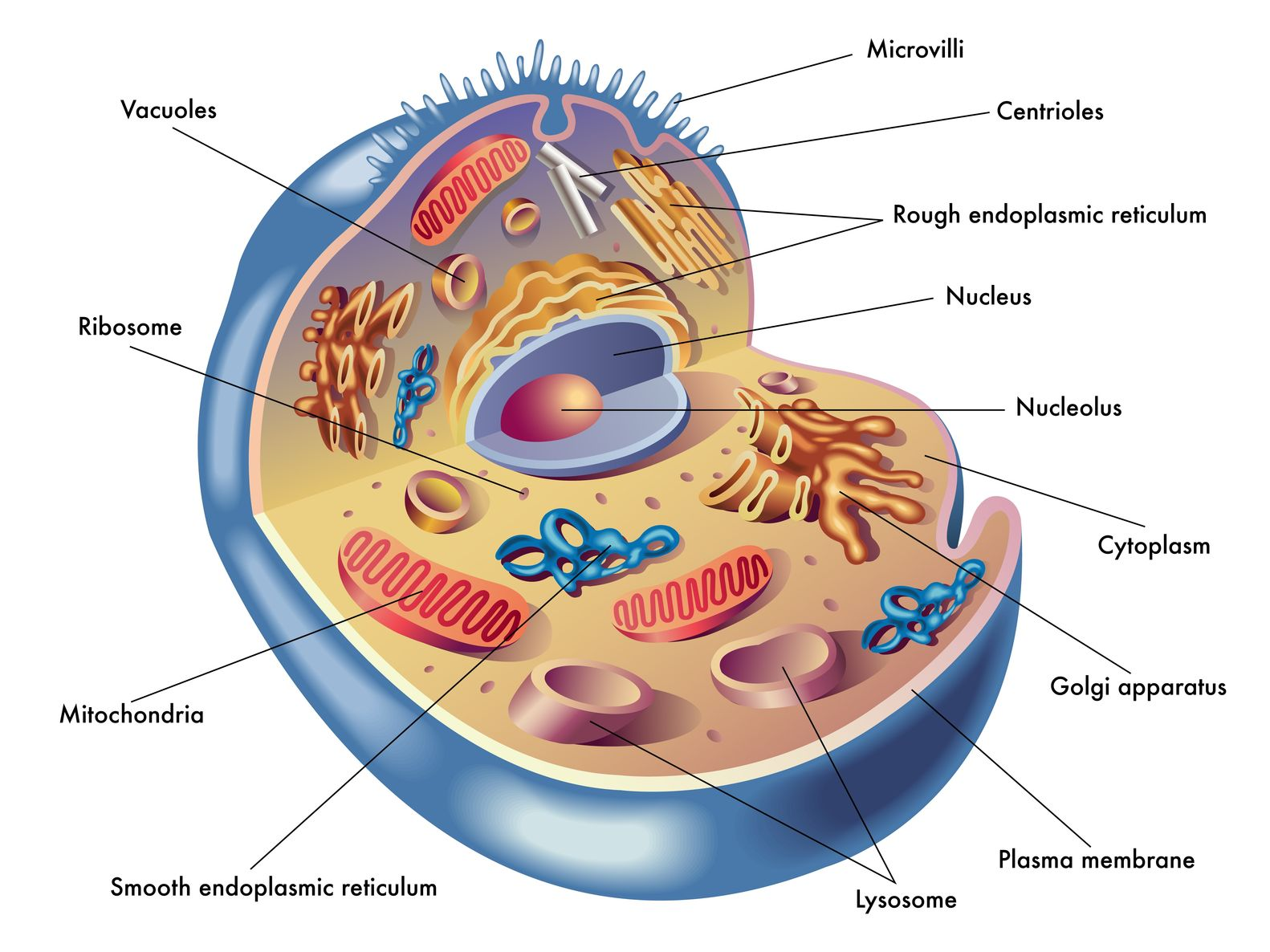 Anatomy & Physiology of the Cell | Massage School Berks Anatomy ...